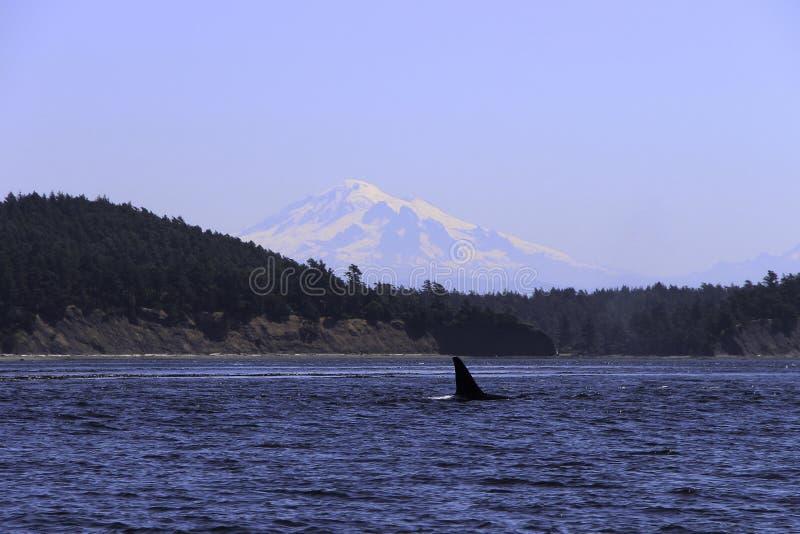 Balene che spoting all'isola Washington dell'orca immagini stock libere da diritti