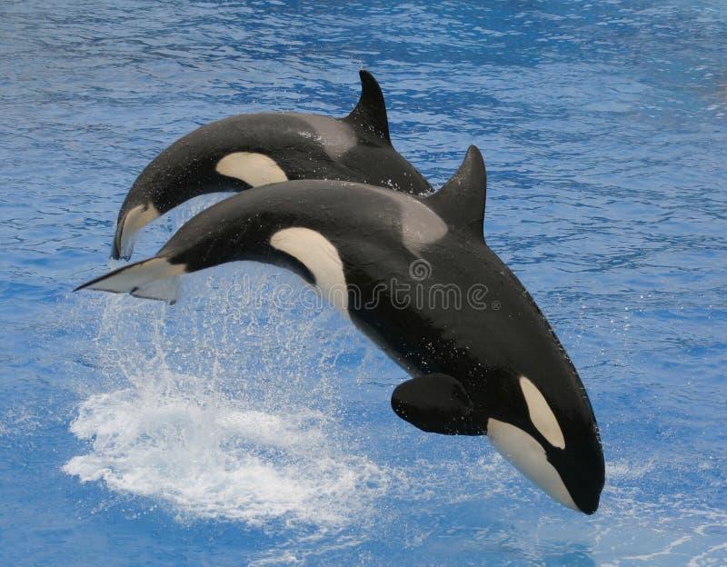 Balene di assassino fotografia stock libera da diritti