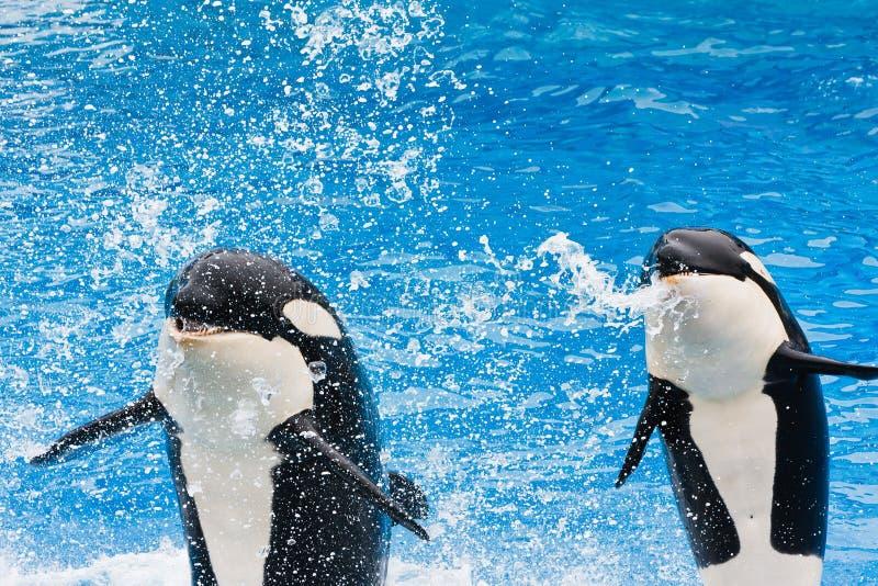Balene di assassino che effettuano a SeaWorld immagine stock libera da diritti