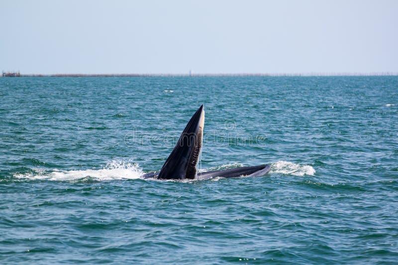 Balene di Bruda o balene di bryde al golfo del Siam immagine stock