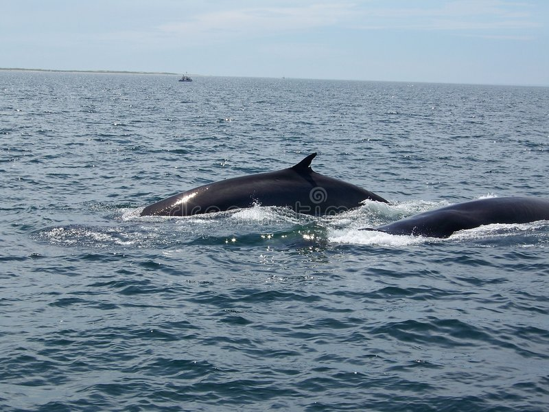 Balene di Finback fotografia stock