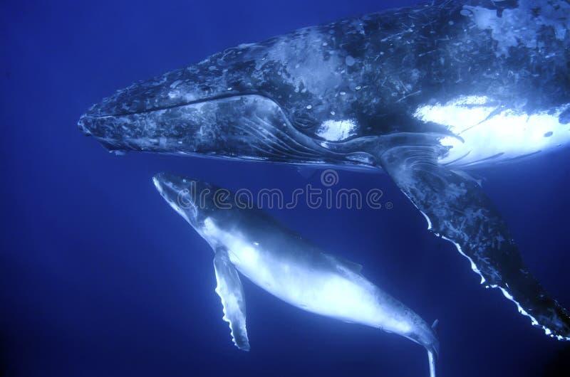 Balene di Humback fotografie stock