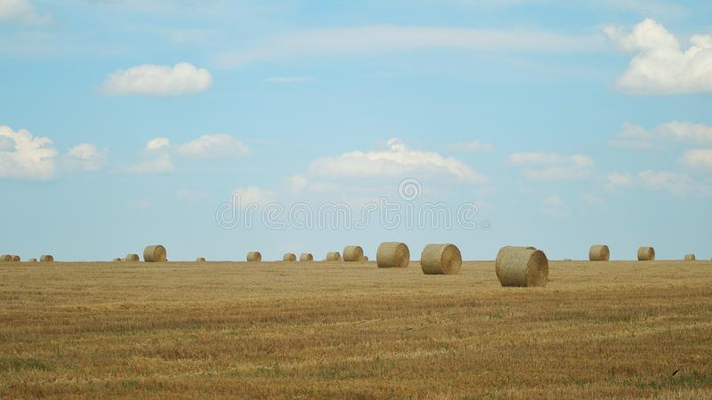 Bales of hay in the yellow field of wheat. Field and blue clear sky stock image