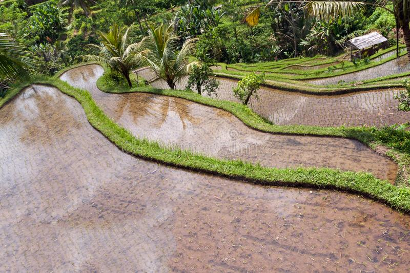 bali śródpolny Indonesia ryż tarasu ubud obraz stock