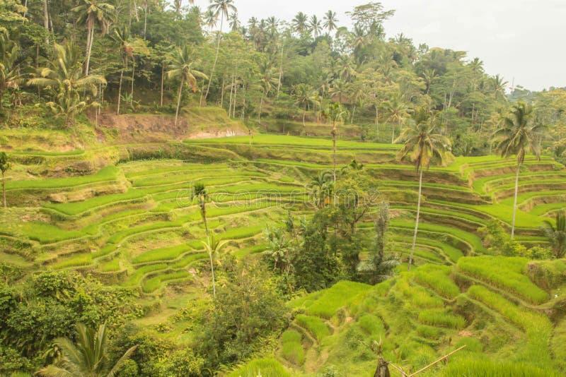 bali Индонесия сфотографировал террасу риса стоковое изображение