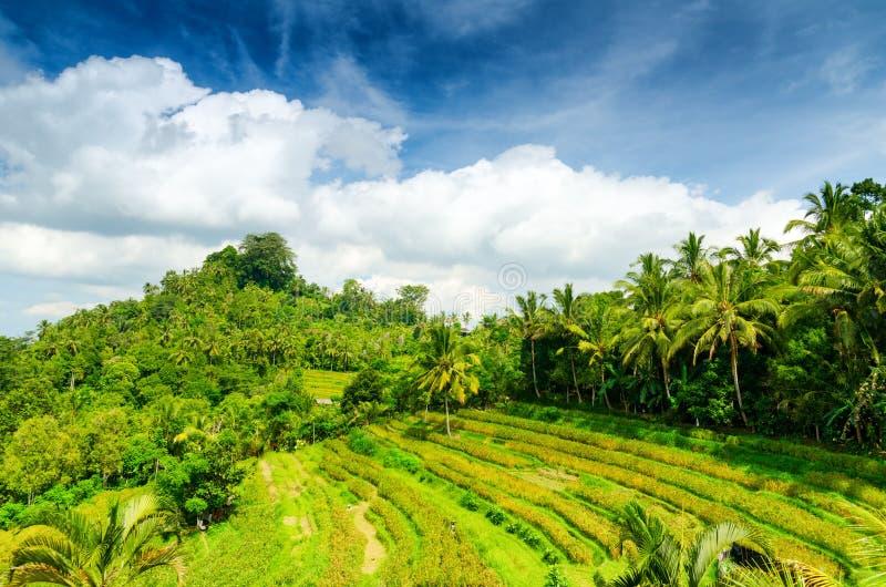 Bali. Green rice terraces. Bali, Indonesia stock image