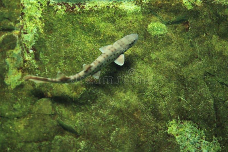 Bali catshark. Floating in water stock photos