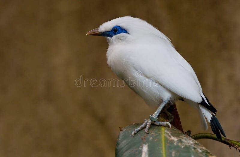 Bali che starling fotografia stock