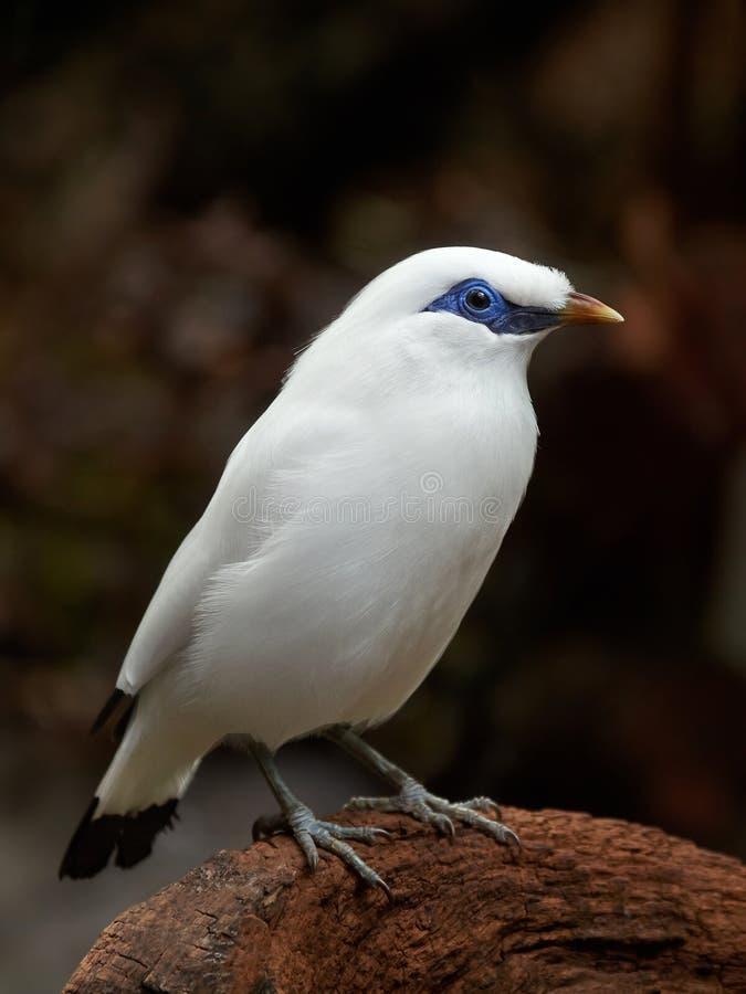 Bali che starling (rothschildi di Leucopsar) immagini stock