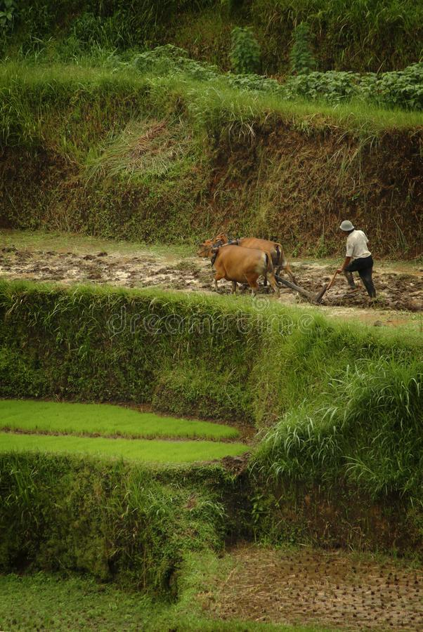 Bali effraye la charrue les terrasses de riz image stock