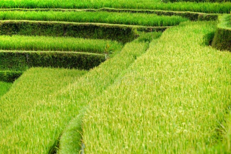 bali errace pola Indonesia ryż ubud fotografia royalty free