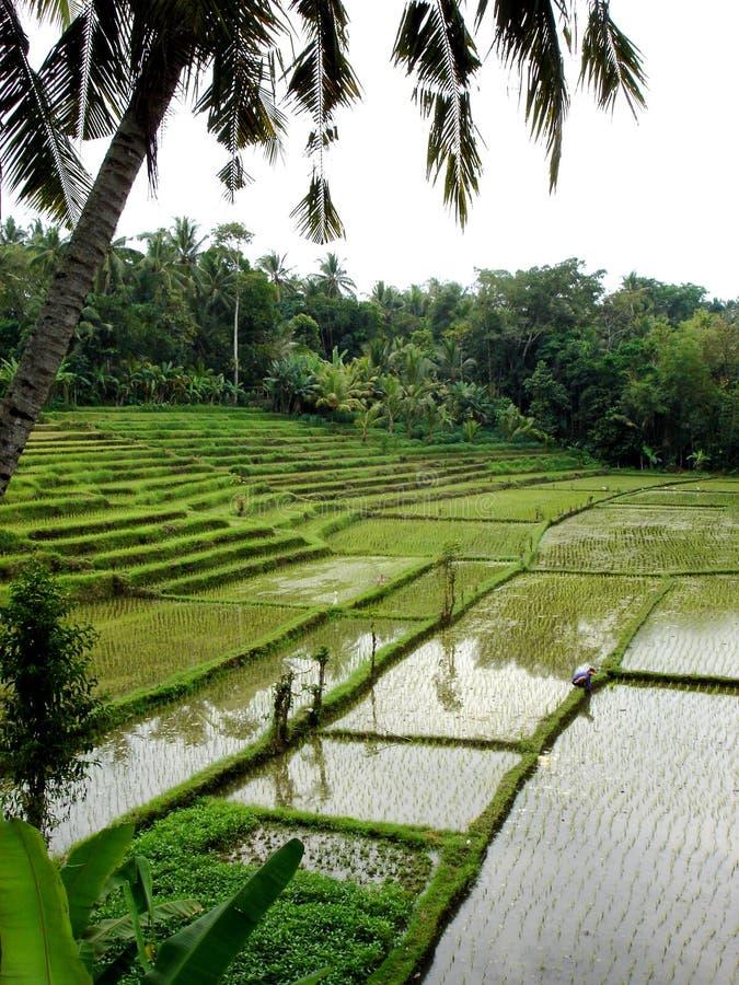 bali fields paddy royaltyfri bild