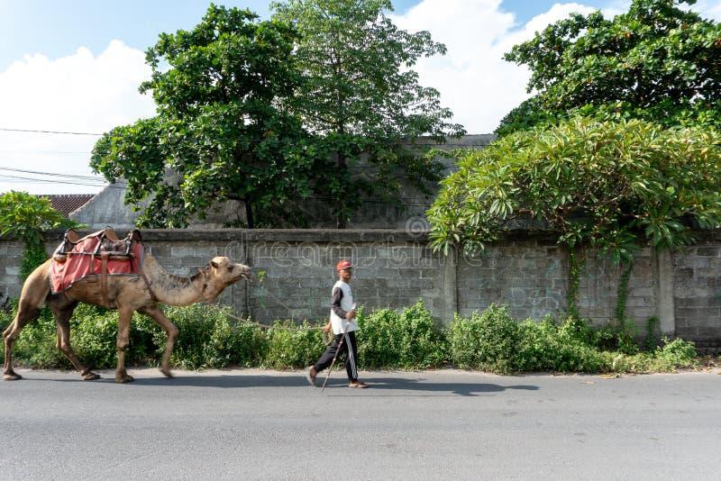 BALI/INDONESIA-APRIL 5 2019: En kamelherder bär hans kamel på en asfaltväg i en solig och varm dag arkivbilder