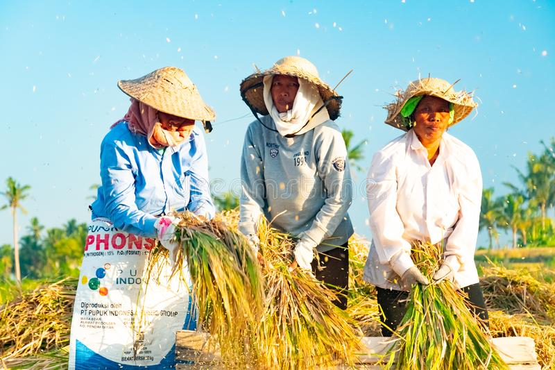 BALI, INDONESIA - April 12, 2018: Female Balinese farm-workers laugh as they traditional harvest a crop of rice from a royalty free stock photo