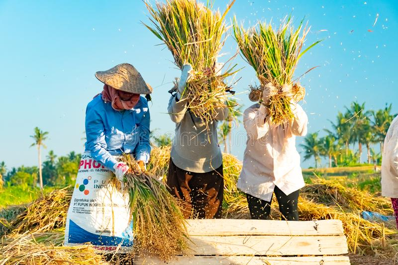 BALI, INDONESIA - April 12, 2018: Female Balinese farm-workers laugh as they traditional harvest a crop of rice from a royalty free stock images