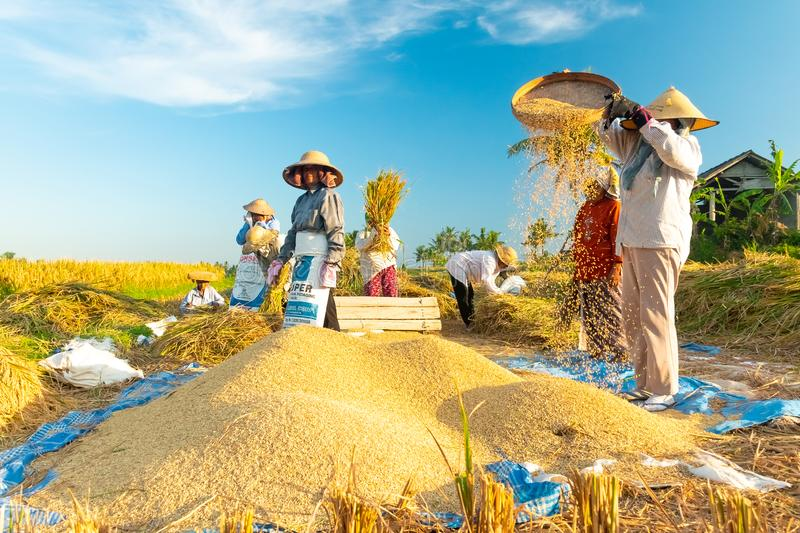 BALI, INDONESIA - April 12, 2018: Female Balinese farm-workers laugh as they traditional harvest a crop of rice from a royalty free stock photography