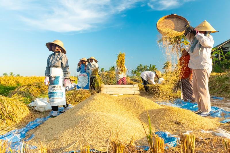 BALI, INDONESIA - April 12, 2018: Female Balinese farm-workers laugh as they traditional harvest a crop of rice from a stock images
