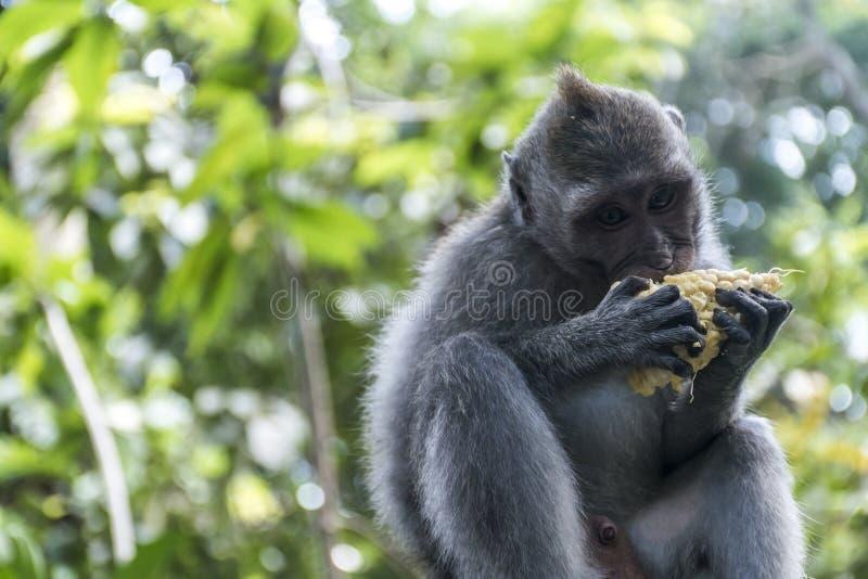 Bali Indonesia Ubud Monkey Forest Eating ape royalty free stock images