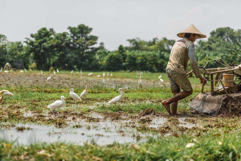 Bali/Indonesien - 03 05 2018: mannen plogar fältet med stort ettkvarter fotografering för bildbyråer