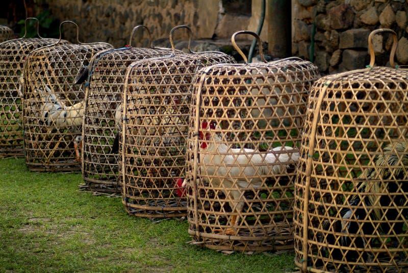 Bali koguty zdjęcia stock