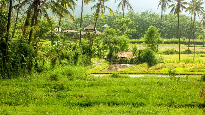 Bali landscape with verdant green rice field. Or paddy and distant house behind tropical palm trees royalty free stock photography