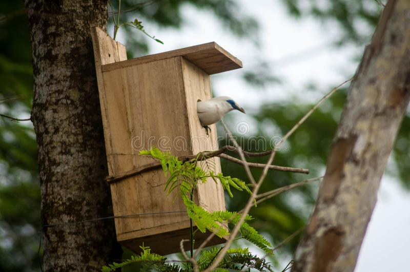 The Bali myna, also known as Rothschild`s mynah, Bali starling, or Bali mynah, locally known as jalak Bali. Is a medium-sized, stocky myna, almost wholly white royalty free stock photography