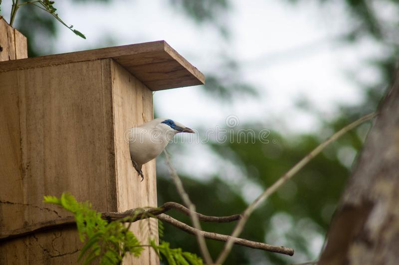 The Bali myna, also known as Rothschild`s mynah, Bali starling, or Bali mynah, locally known as jalak Bali. Is a medium-sized, stocky myna, almost wholly white stock photography