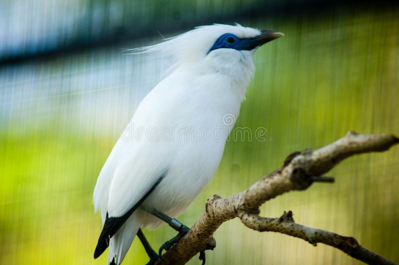 The Bali myna, also known as Rothschild`s mynah, Bali starling, or Bali mynah, locally known as jalak Bali. Is a medium-sized, stocky myna, almost wholly white royalty free stock image