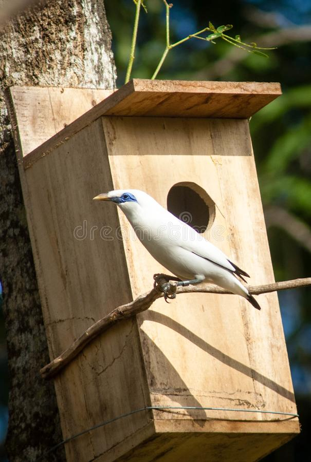 The Bali myna, also known as Rothschild`s mynah, Bali starling, or Bali mynah, locally known as jalak Bali. Is a medium-sized, stocky myna, almost wholly white stock image