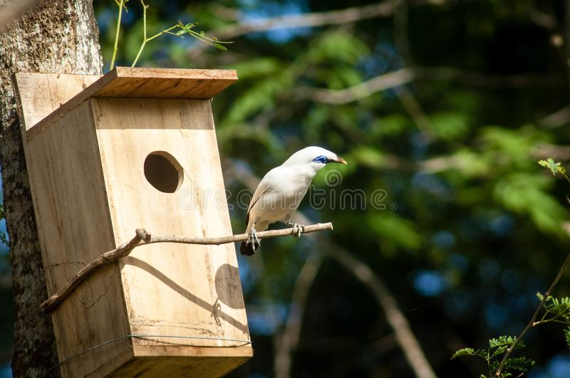 The Bali myna, also known as Rothschild`s mynah, Bali starling, or Bali mynah, locally known as jalak Bali. Is a medium-sized, stocky myna, almost wholly white royalty free stock images