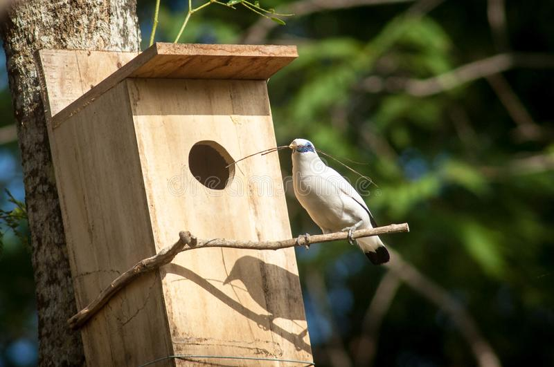 The Bali myna, also known as Rothschild`s mynah, Bali starling, or Bali mynah, locally known as jalak Bali. Is a medium-sized, stocky myna, almost wholly white stock photo