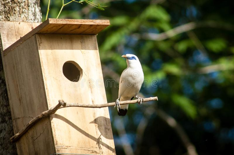 The Bali myna, also known as Rothschild`s mynah, Bali starling, or Bali mynah, locally known as jalak Bali. Is a medium-sized, stocky myna, almost wholly white stock images