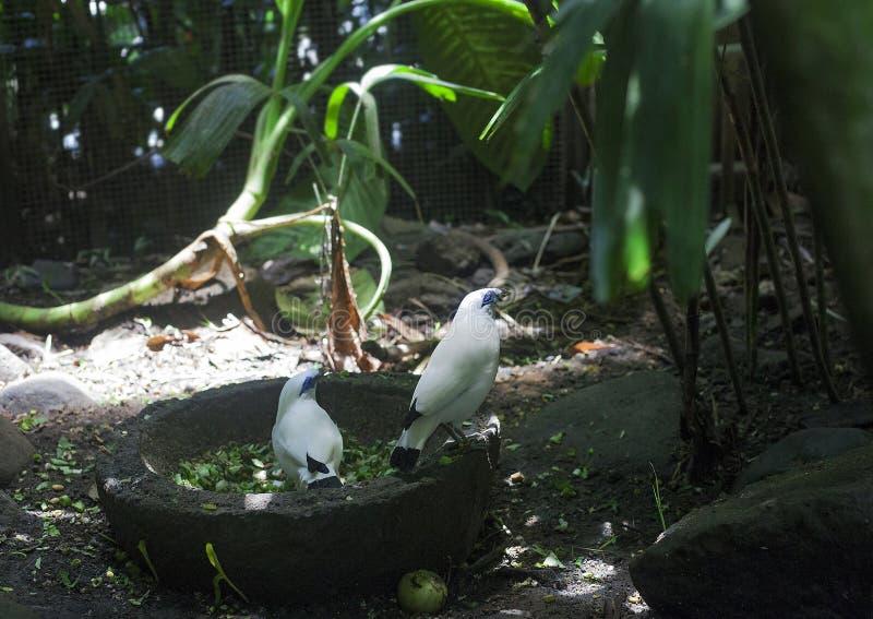 Bali myna or Rothschilds mynah white birds stock photo