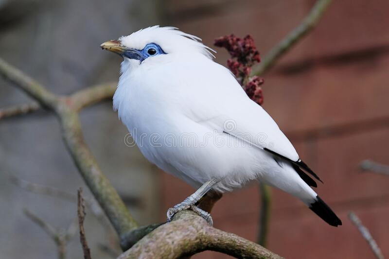 Bali Myna perched on a tree branch stock photo