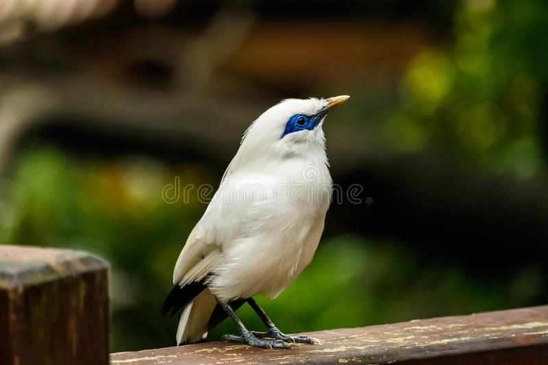 Bali Myna sur la balustrade en bois en Hong Kong photo stock
