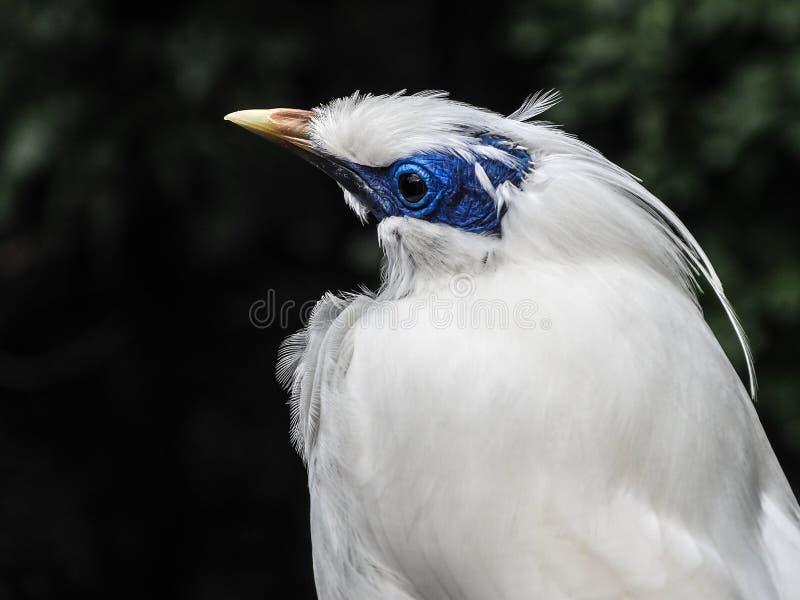 Bali Mynah bird with a blue face stock image