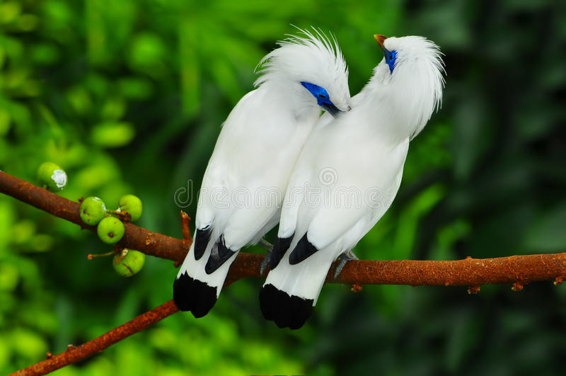 Bali mynah birds. Pair of white bali mynah birds(leucopsar rothschildi) perched on a tree branch. location : edward youde aviary of hong kong park