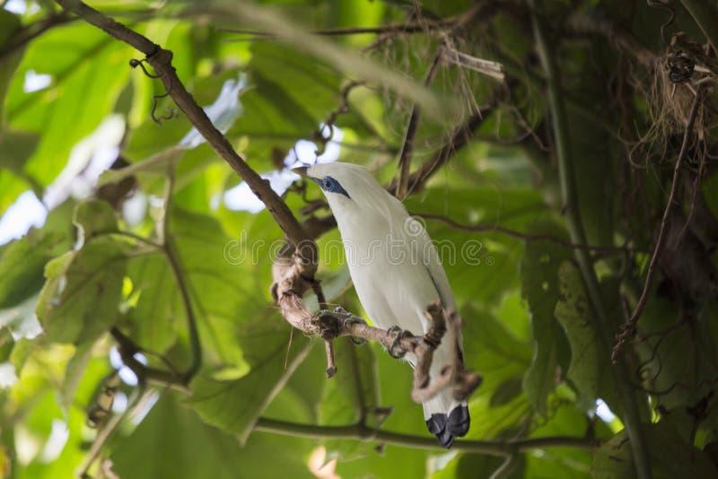 Bali Mynah (rothschildi de Leucopsar) image stock