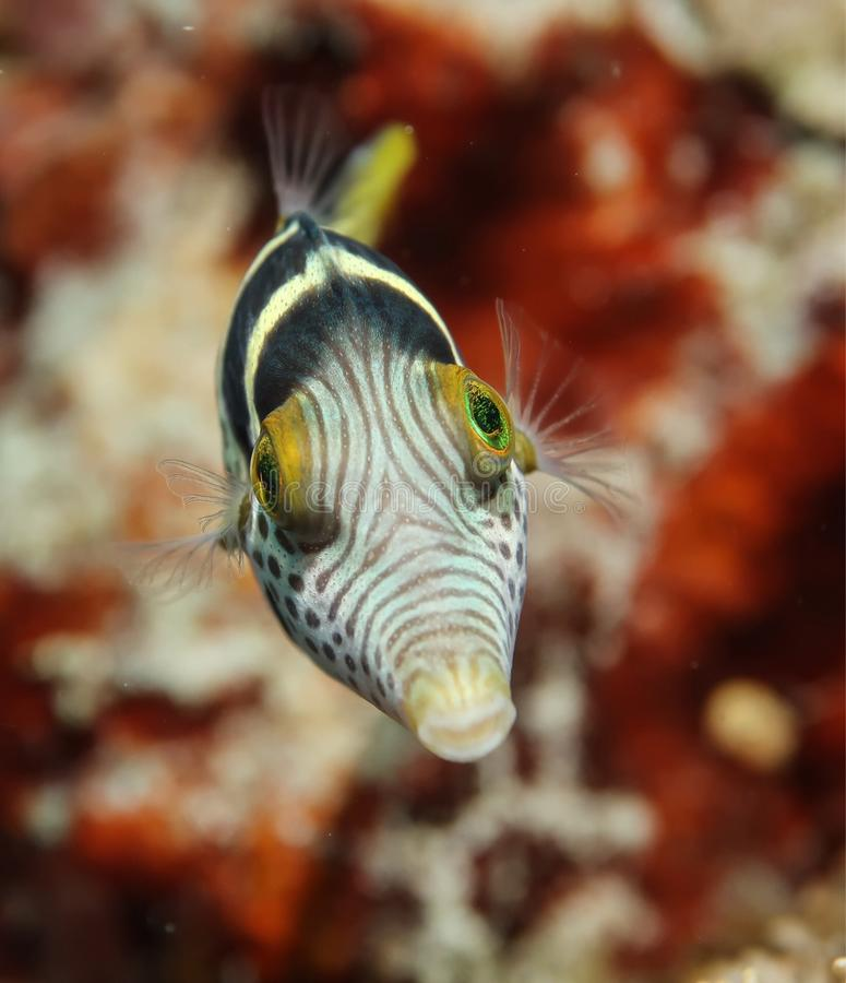 Juvenile pufferfish royalty free stock photos