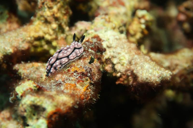 Black and white Nudibranch royalty free stock images