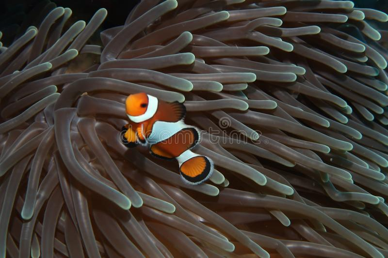 Solo clownfish in anemone royalty free stock images