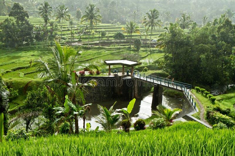 bali odpowiada Indonesia ryż obrazy royalty free