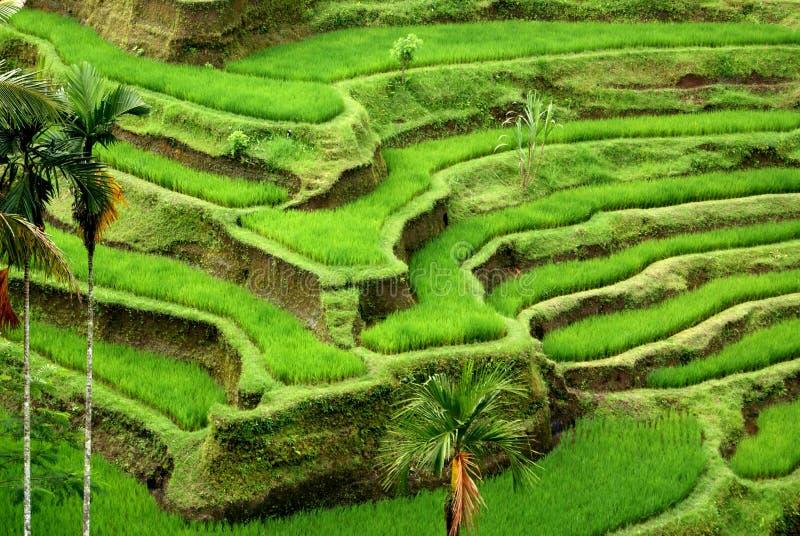bali odpowiada Indonesia ryż obraz stock