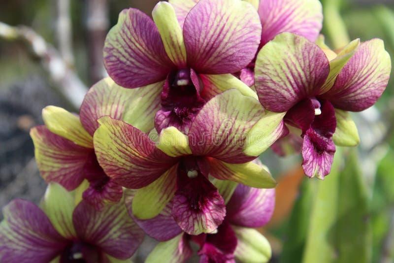 Bali-Orchidee stockfotos
