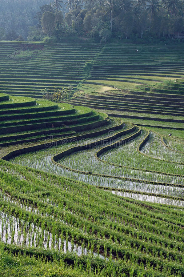 Bali paddy fields. Late afternoon sun floods the paddy fields of the Indonesian island of Bali stock photo
