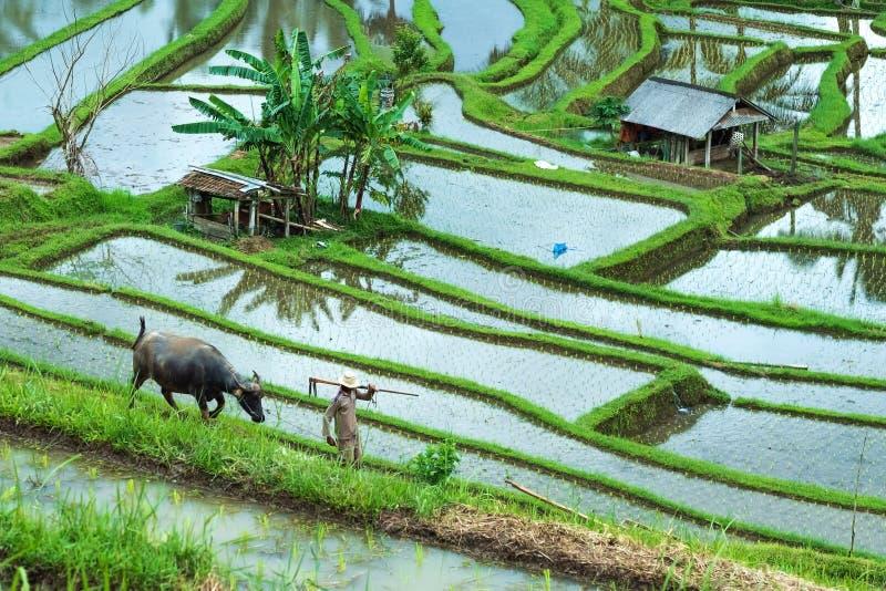 Bali, plantation de riz de l'Indonésie le 12 janvier 2018 - avec le buffle et l'ouvrier moisson de la céréale photo libre de droits