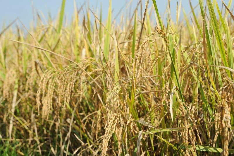 Download Bali Rice obraz stock. Obraz złożonej z rośliny, fielder - 57666885