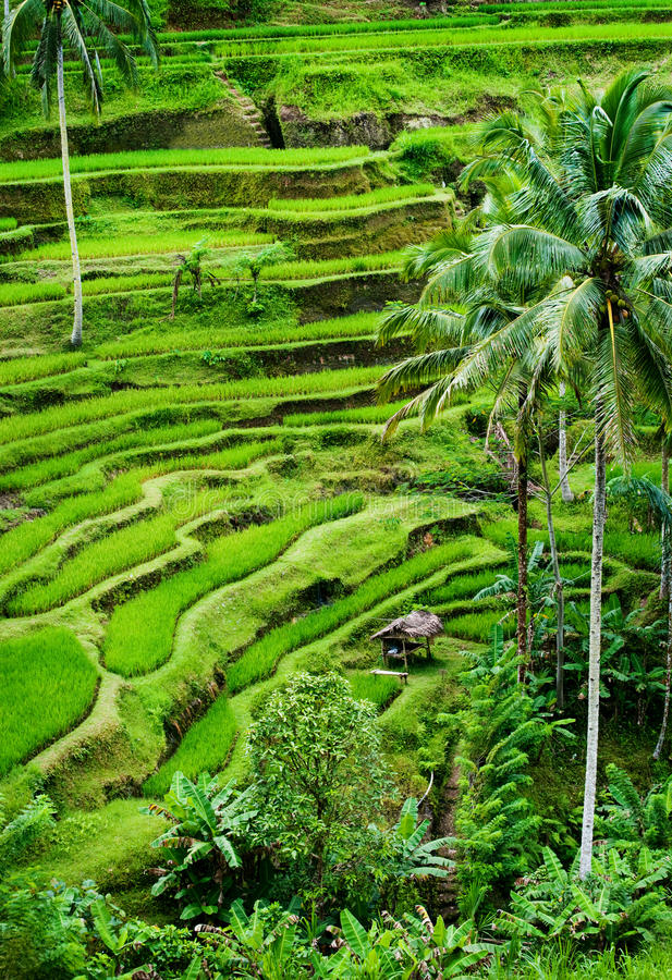 Bali Rice Field stock images