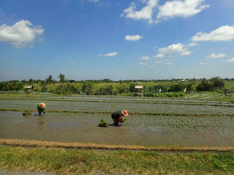 Bali rice field and workers stock photography