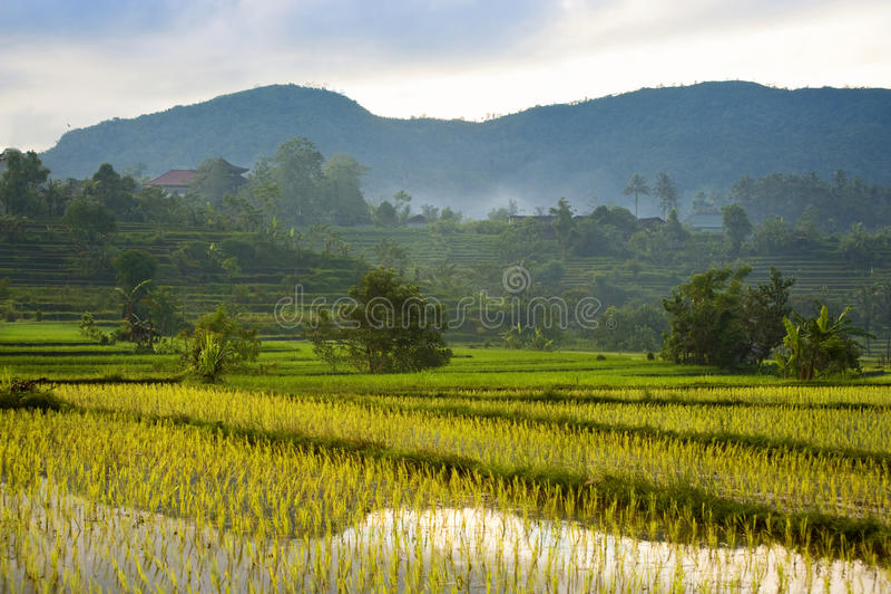 Bali Rice Fields. stock photo